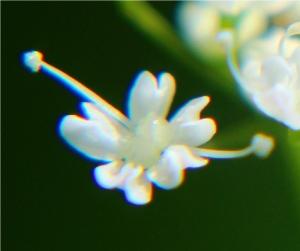 Einzelne Gierschblüte.