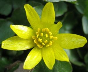 Blüte des Scharbockskrauts.